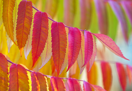 vibrant colours: Beautiful Staghorn sumac in vibrant colours in autumn