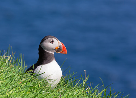 Puffin  Fratercula arctica sitting in the grass with blue ocean as background  photo