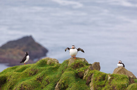 Three Puffins Fratercula arctica in Faroe Islands. photo