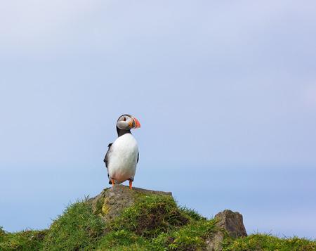 fratercula: Single Puffin, Fratercula arctica sitting on a rock. Stock Photo