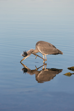ardea cinerea: Grey heron, Ardea cinerea drinking in a lake.