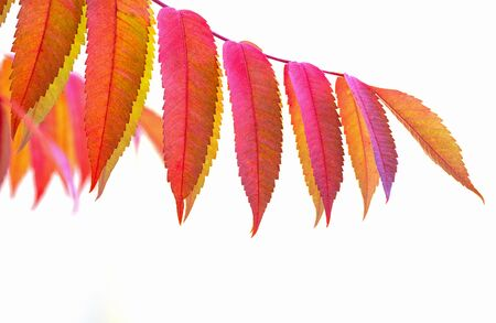 staghorn: Branch of colourful Staghorn Sumac Rhus typhina in autumn. Stock Photo