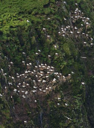 colony: Colony of Northern Gannets, Morus bassanus.