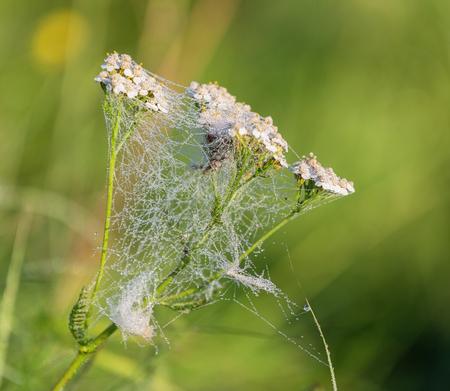 yarrow: Yarrow. Achillea millefolium. Medicinal herb. Stock Photo