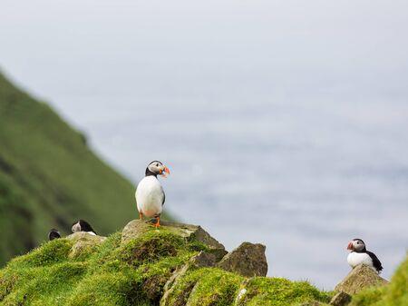 puffins: Fratercula arctica. Cute Puffins on a cliff.