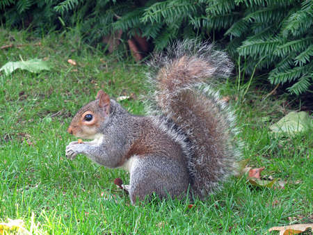 Grey Squirrel  eating a nut in London      photo