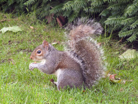 squirrel holding a nut and cogiendosela in the green park in London Stock Photo - 20924543