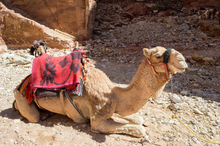 Tourist Camel sitting waiting for customers in petra photo