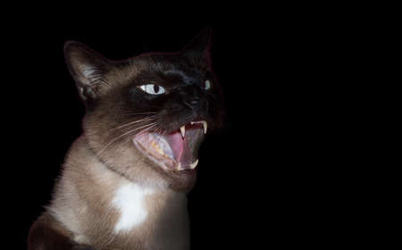 menacing: angry and aggressive cat on black background