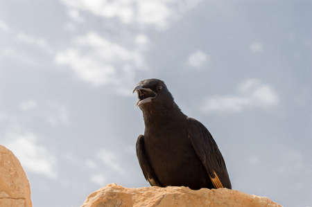 watchful: watchful crow perched caws at the desert