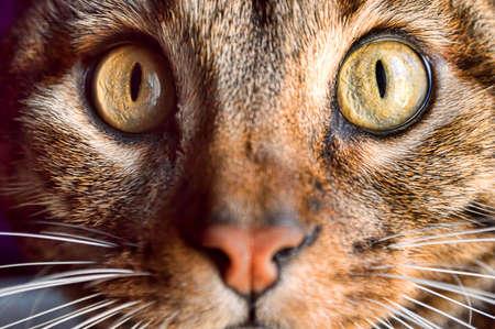 ojos marrones: recortar foto de los ojos de gato que mira fijamente