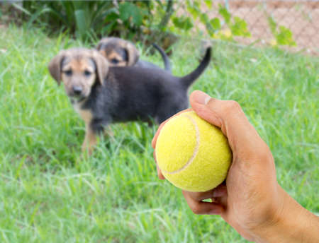 alsation: closeup of a human hand with a tennis ball to play with a small dog