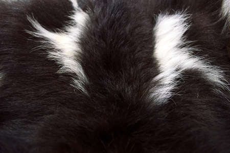 pure blooded: detail of  black and white fur of goat as background