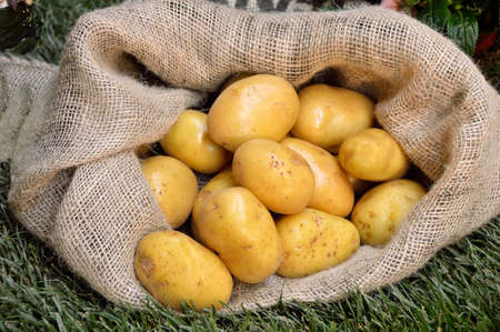 unpeeled: Harvest potatoes in burlap sack on grass background