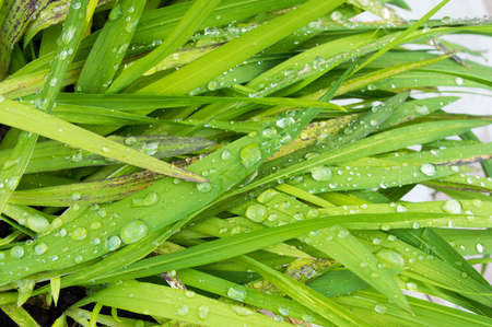 drizzling rain: Closeup cropped image of lush green plant life with dew droplets Stock Photo