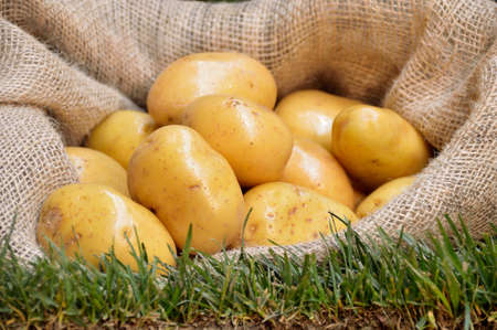 Harvest potatoes in burlap sack on grass background