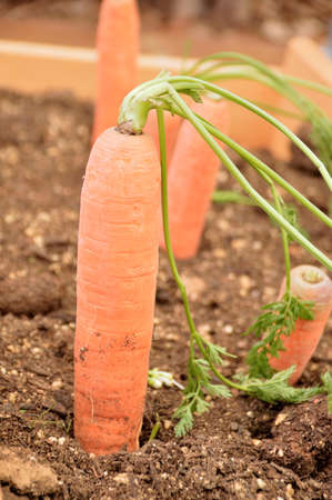 closeup of carrots planted at the orchard