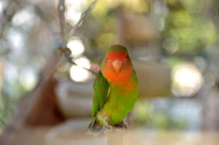 lovebird perched on a branch looking at camera