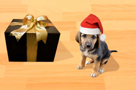 puppy dog sitting at the floor wearing santa hat and looking at the camera next a gift box for Christmas Imagens