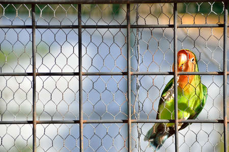 lovebird: closeup of a caged lovebird in a cage with copyspace