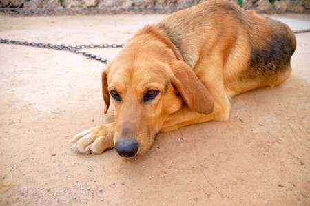 fastened: chained dog looking sad and laying Stock Photo