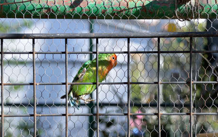 lovebirds: closeup of a caged lovebirds in a great cage