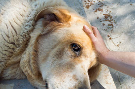 woman with her hand stroking his blond dog Stock Photo