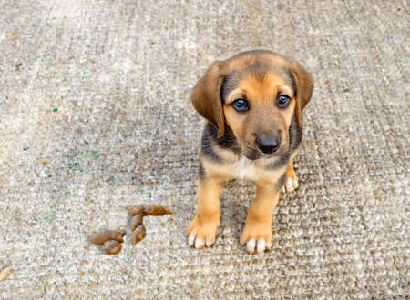puppy dog sitting and looking sadly at camera by pooping on the carpet at home Imagens