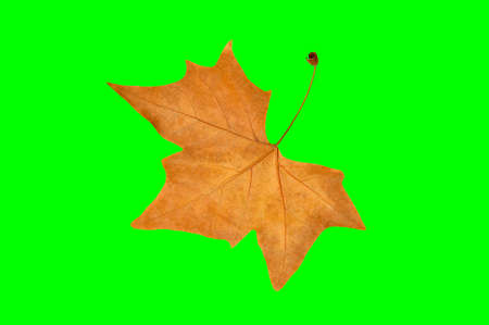 close up of dry maple leaf with chroma key Stock Photo