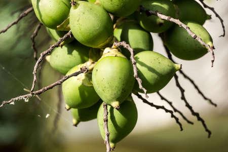 betelnut: betel nuts