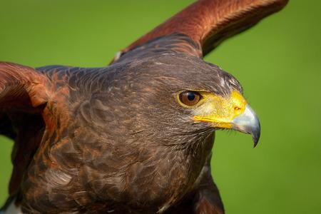 Portrait of a hawk harris photo
