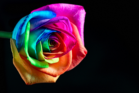 Multicolor rose on black backgroud photo