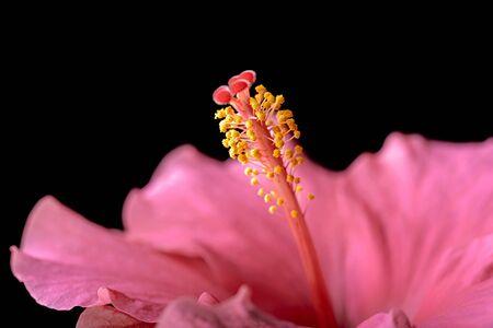 pistil: hibiscus flower and pistil on black background