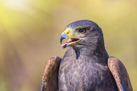 talons: portrait of harris hawk on natural outdoor background