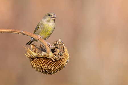 greenfinch: female greenfinch eating on a sunflower outdoor
