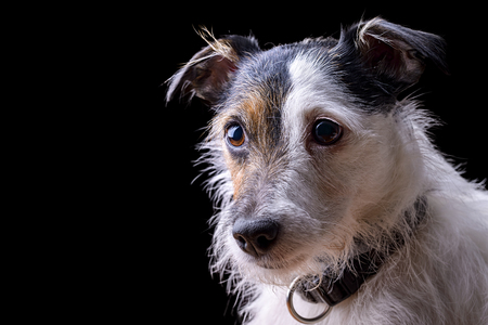 jack russell terrier: portrait of female jack russell terrier on black background