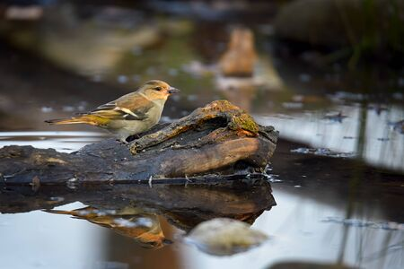 greenfinch: female greenfinch near a small lake with reflection in water