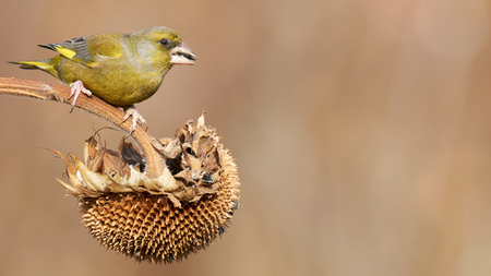 greenfinch: male greenfinch eating on a sunflower outdoor