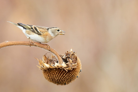 chaffinch: female Chaffinch on sunflower in nature outdoor Stock Photo