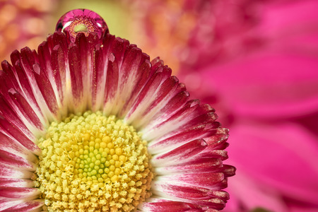 pink daisy: pink daisy with water drop and gerbera reflection