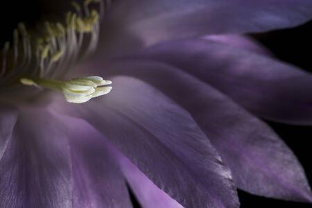 pistil: macro pistil echinopsis flower succulent plant