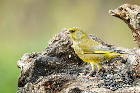 greenfinch: male greenfinch on tree trunk outdoor natural background