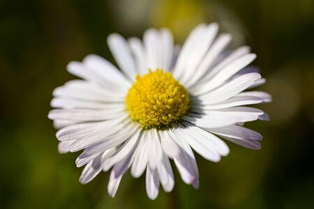 macro: macro pollen of a daisy in the meadow