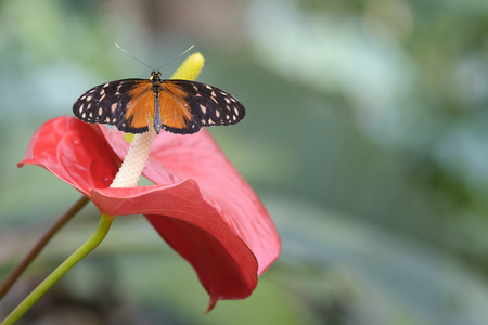 fragile peace: butterfly on red calla flower outdoor