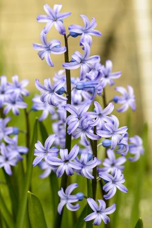 hyacinthus: purple hyacinthus orientalis flower outdoor