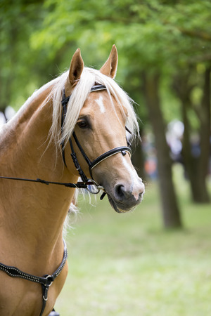 palomino: portrait of a palomino horse isolated outdoor