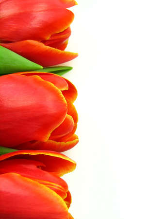 Border from three red tulips on a white background