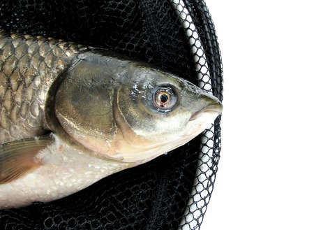 grass carp in a corf on the isolated white background