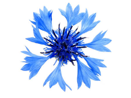 Cornflower inflorescence on the isolated white background.