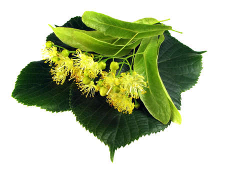 inflorescence: Linden inflorescence on the isolated white background